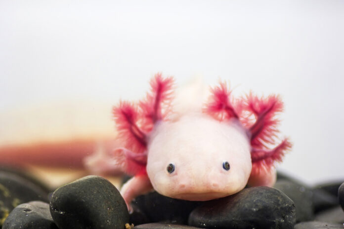 Axolotl Care